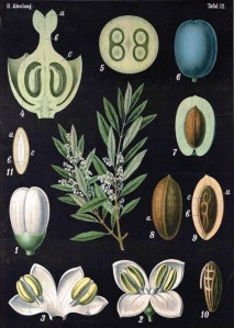 Botanical-Educational-Plate-Black-Olea-europaea-L.