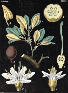 Botanical-Educational-Plate-Black-Palaquium-Gutta