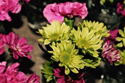 Mini Chrysanthemums in lime green and magenta Carnations